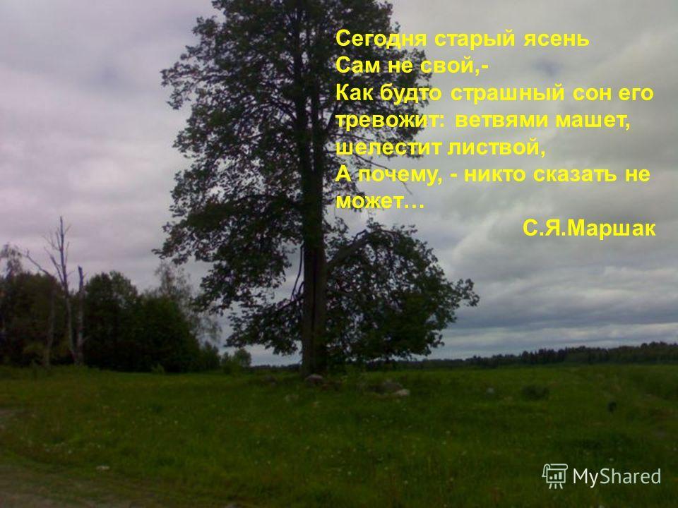 Сегодня старый ясень Сам не свой,- Как будто страшный сон его тревожит: ветвями машет, шелестит листвой, А почему, - никто сказать не может… С.Я.Маршак