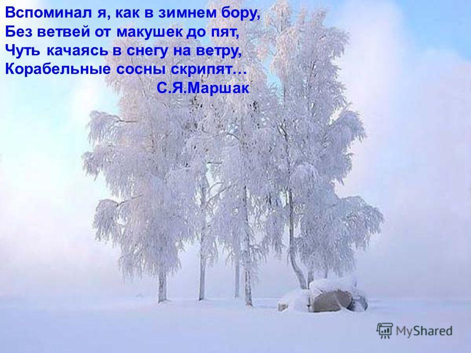 Вспоминал я, как в зимнем бору, Без ветвей от макушек до пят, Чуть качаясь в снегу на ветру, Корабельные сосны скрипят… С.Я.Маршак