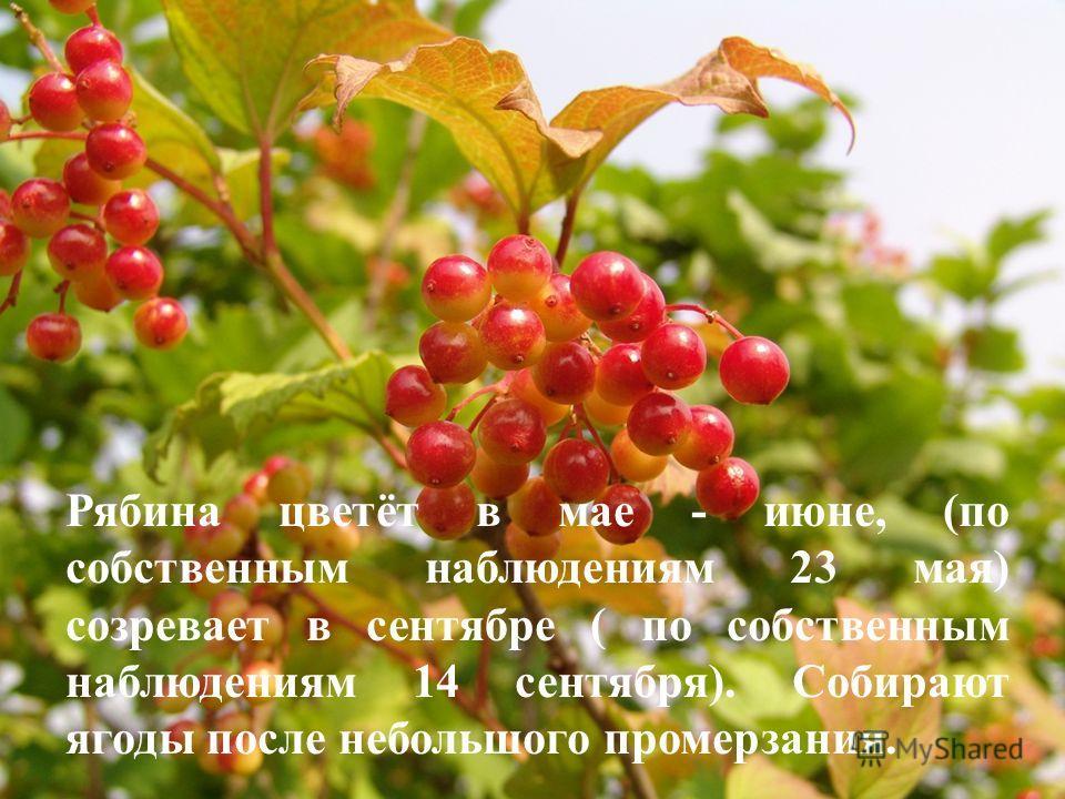 Рябина цветёт в мае - июне, (по собственным наблюдениям 23 мая) созревает в сентябре ( по собственным наблюдениям 14 сентября). Собирают ягоды после небольшого промерзания.