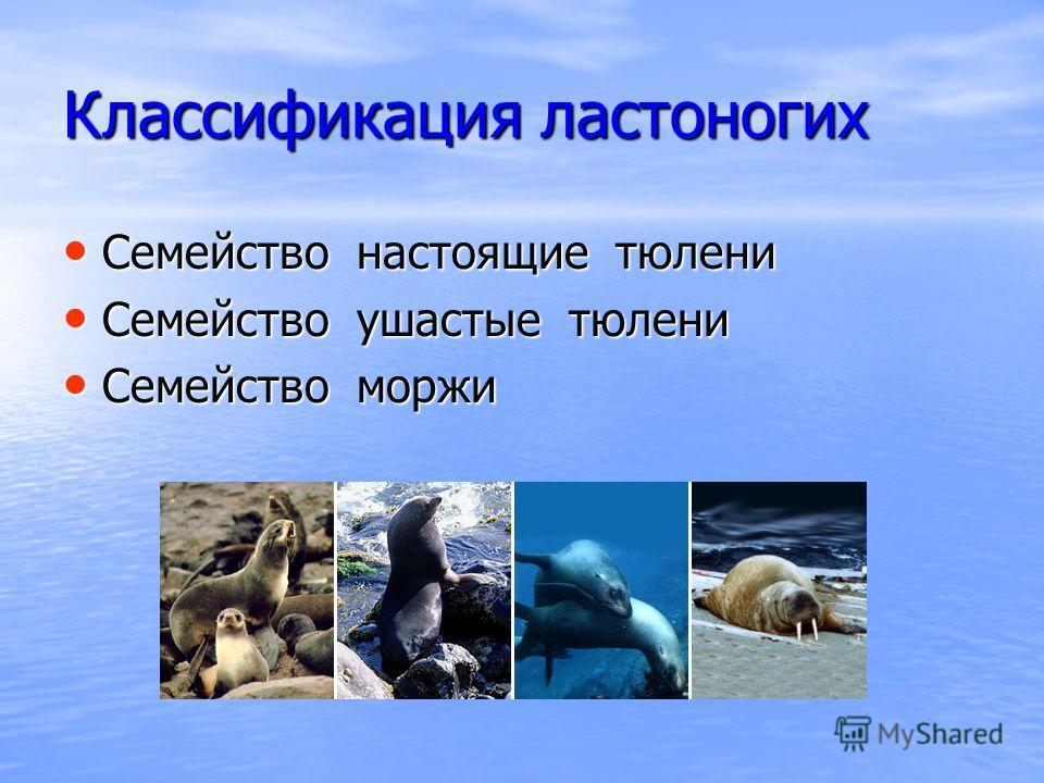 Классификация ластоногих Семейство настоящие тюлени Семейство настоящие тюлени Семейство ушастые тюлени Семейство ушастые тюлени Семейство моржи Семейство моржи