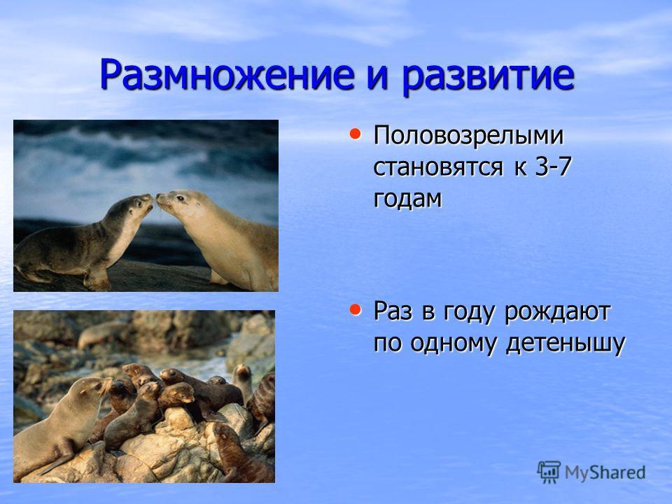 Размножение и развитие Половозрелыми становятся к 3-7 годам Половозрелыми становятся к 3-7 годам Раз в году рождают по одному детенышу Раз в году рождают по одному детенышу