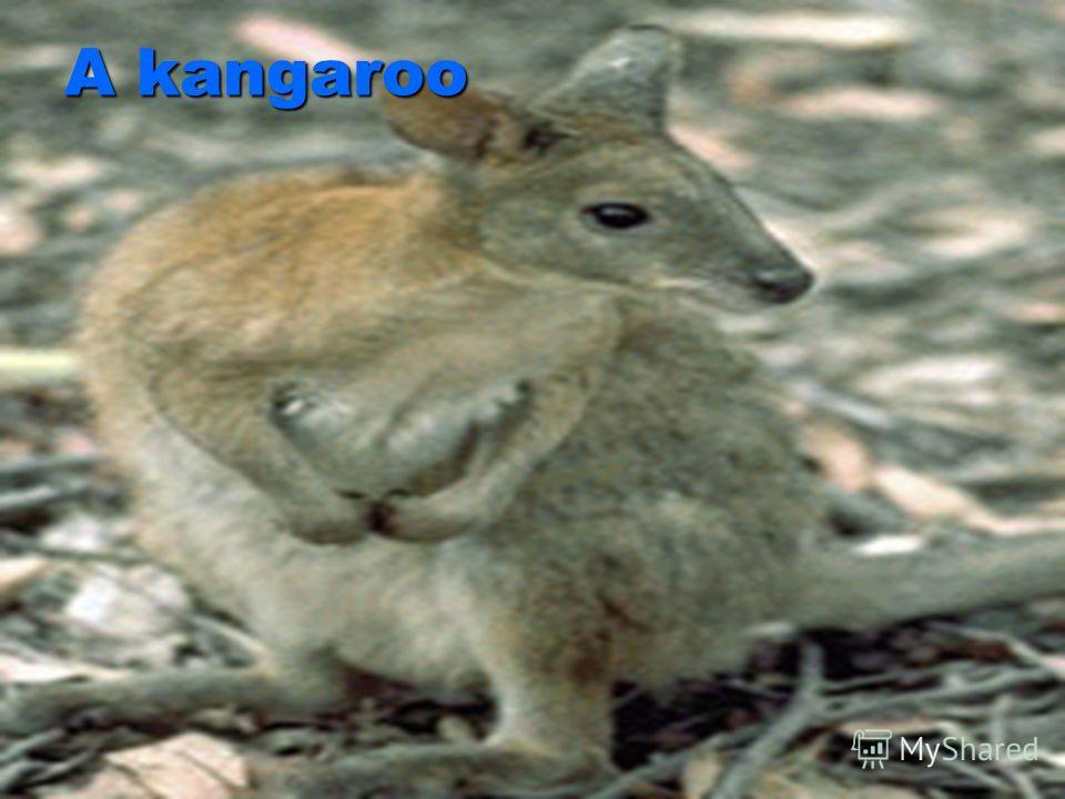 A kangaroo A kangaroo