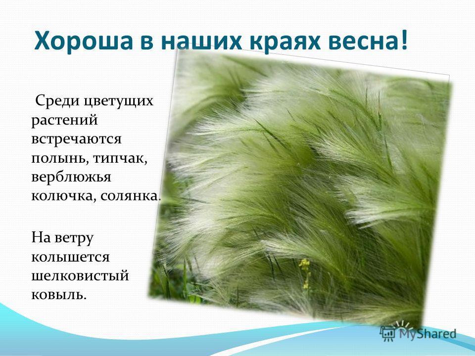Хороша в наших краях весна! Среди цветущих растений встречаются полынь, типчак, верблюжья колючка, солянка. На ветру колышется шелковистый ковыль.