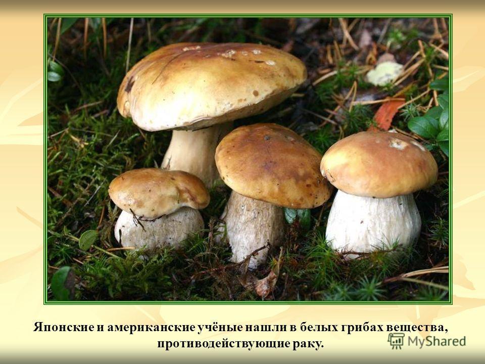 Японские и американские учёные нашли в белых грибах вещества, противодействующие раку.