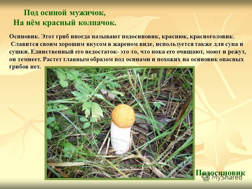 Под осиной мужичок, На нём красный колпачок. Подосиновик Осиновик. Этот гриб иногда называют подосиновик, краснюк, красноголовик. Славится своим хорошим вкусом в жареном виде, используется также для супа и сушки. Единственный его недостаток- это то,