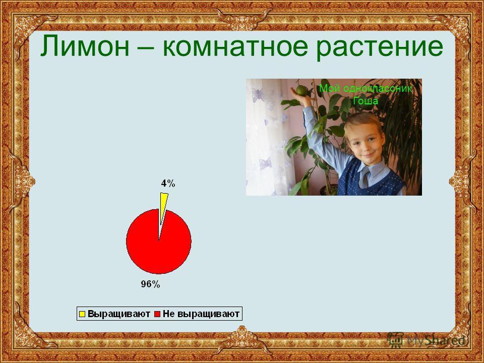 Лимон – комнатное растение Мой одноклассник Гоша