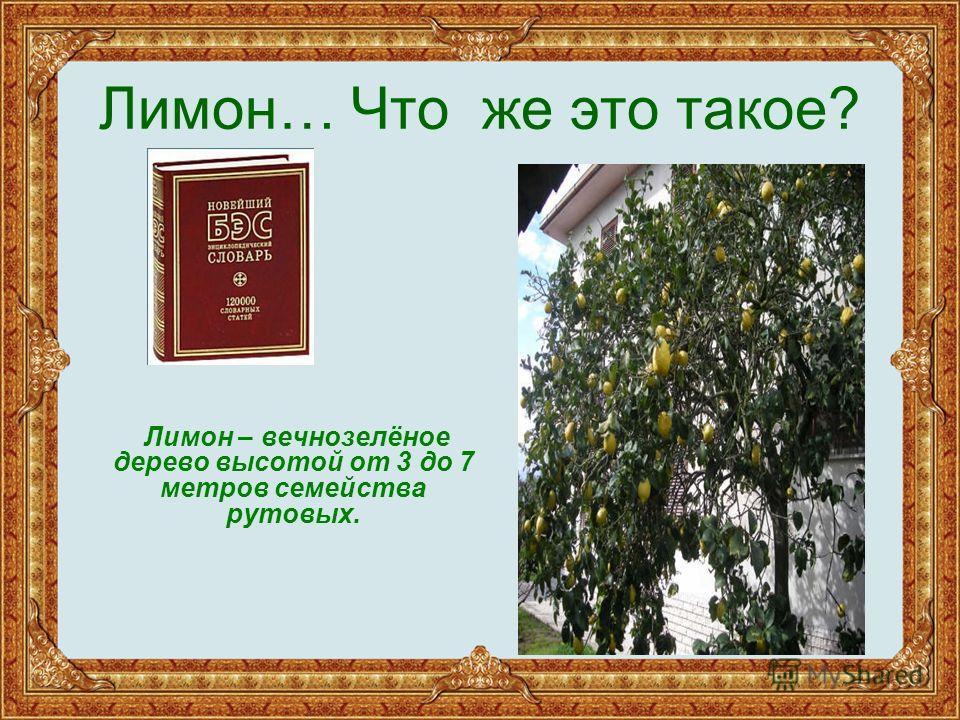 Лимон… Что же это такое? Лимон – вечнозелёное дерево высотой от 3 до 7 метров семейства рутовых.