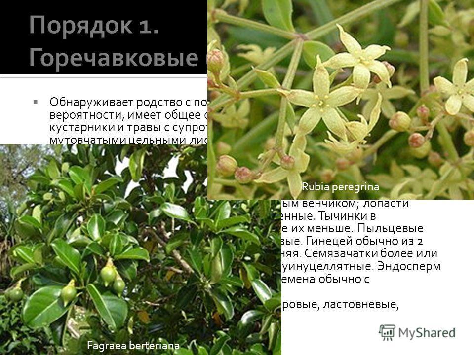 Обнаруживает родство с порядком кизиловых и, по всей вероятности, имеет общее с ним происхождение. Деревья, кустарники и травы с супротивными или редко очередными или мутовчатыми цельными листьями, лишенными прилистников, или с мелкими или рудиментар