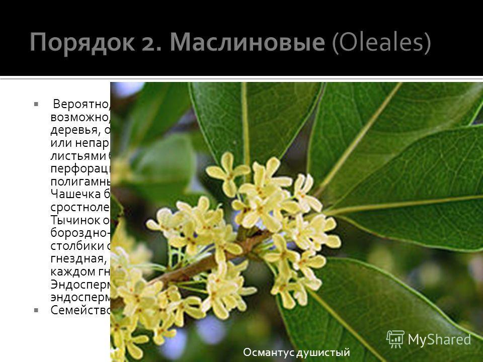 Вероятно, стоит наиболее близко к порядку горечавковых и, возможно, имеет общее с ним происхождение. Кустарники или деревья, обычно с супротивными, редко с очередными, простыми или непарноперистыми, 3-листочковыми или 1-листочковыми листьями без прил