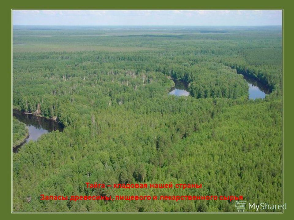 Тайга – кладовая нашей страны Запасы древесины, пищевого и лекарственного сырья