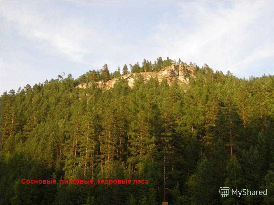 Сосновые, пихтовые, кедровые леса