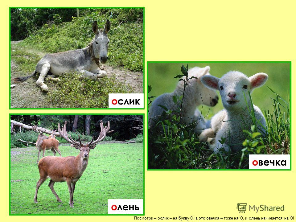 Посмотри – ослик – на букву О, а это овечка – тоже на О, и олень начинается на О! ослик овечка олень