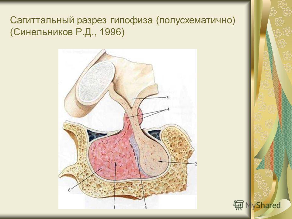 Сагиттальный разрез гипофиза (полусхематично) (Синельников Р.Д., 1996)