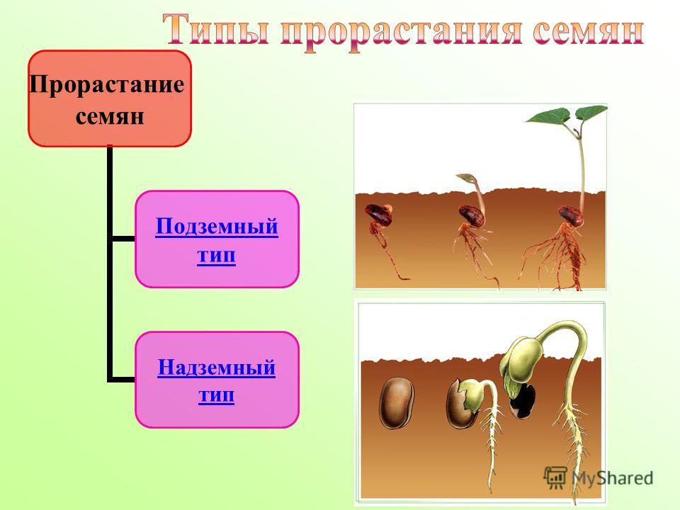Прорастание семян Подземный тип Надземный тип