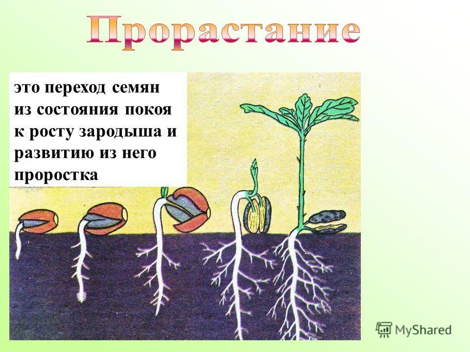 это переход семян из состояния покоя к росту зародыша и развитию из него проростка