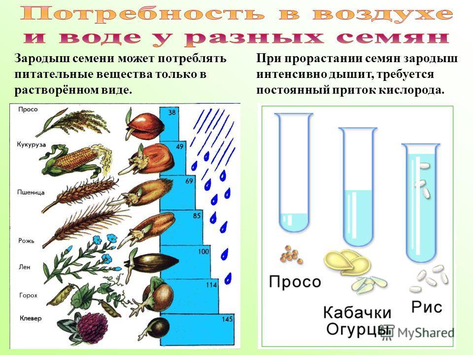 Зародыш семени может потреблять питательные вещества только в растворённом виде. При прорастании семян зародыш интенсивно дышит, требуется постоянный приток кислорода.