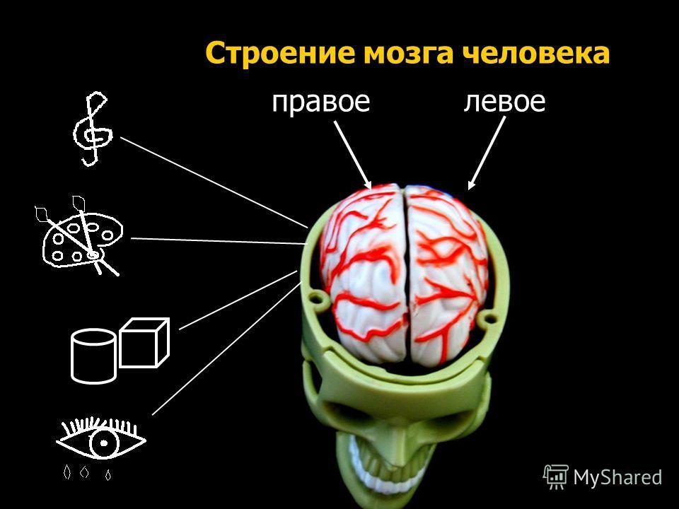 Аа, Бб, Вв Y=2+X правоелевое Строение мозга человека