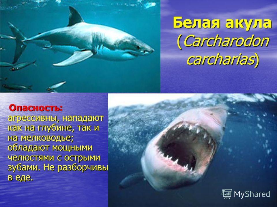 Белая акула (Carcharodon carcharias) Опасность: агрессивны, нападают как на глубине, так и на мелководье; обладают мощными челюстями с острыми зубами. Не разборчивы в еде.