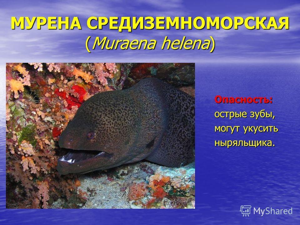 МУРЕНА СРЕДИЗЕМНОМОРСКАЯ (Muraena helena) Опасность: острые зубы, могут укусить ныряльщика.