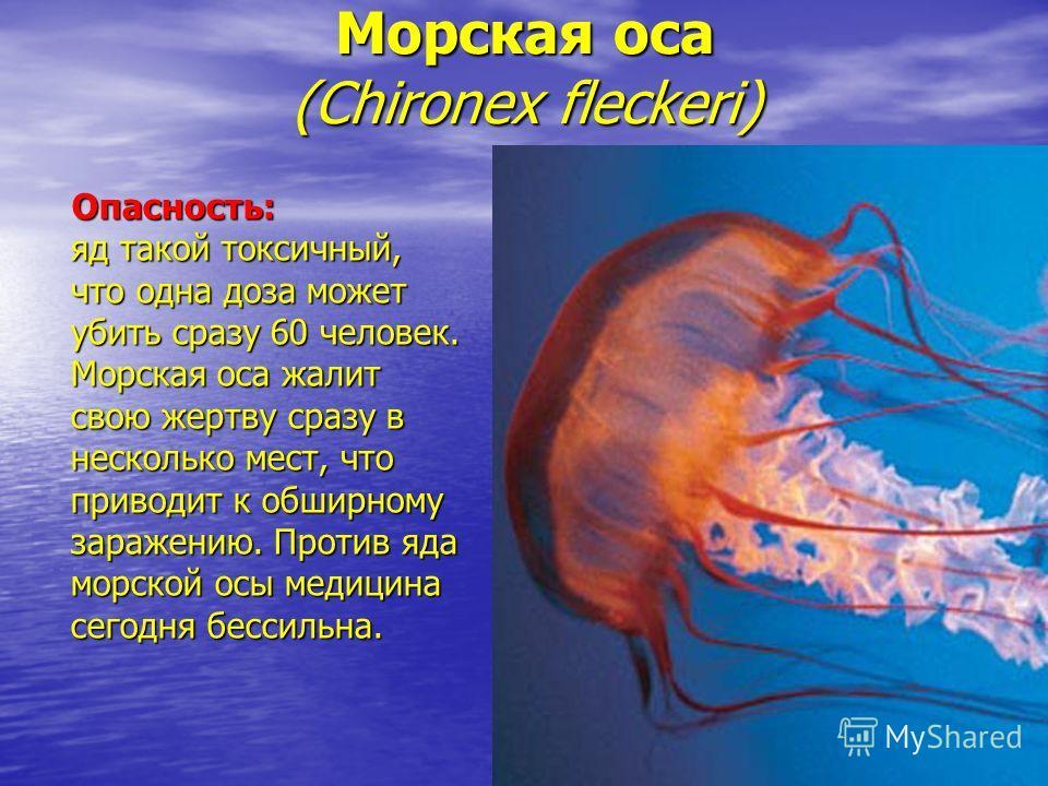 Морская оса (Chironex fleckeri) Опасность: яд такой токсичный, что одна доза может убить сразу 60 человек. Морская оса жалит свою жертву сразу в несколько мест, что приводит к обширному заражению. Против яда морской осы медицина сегодня бессильна.