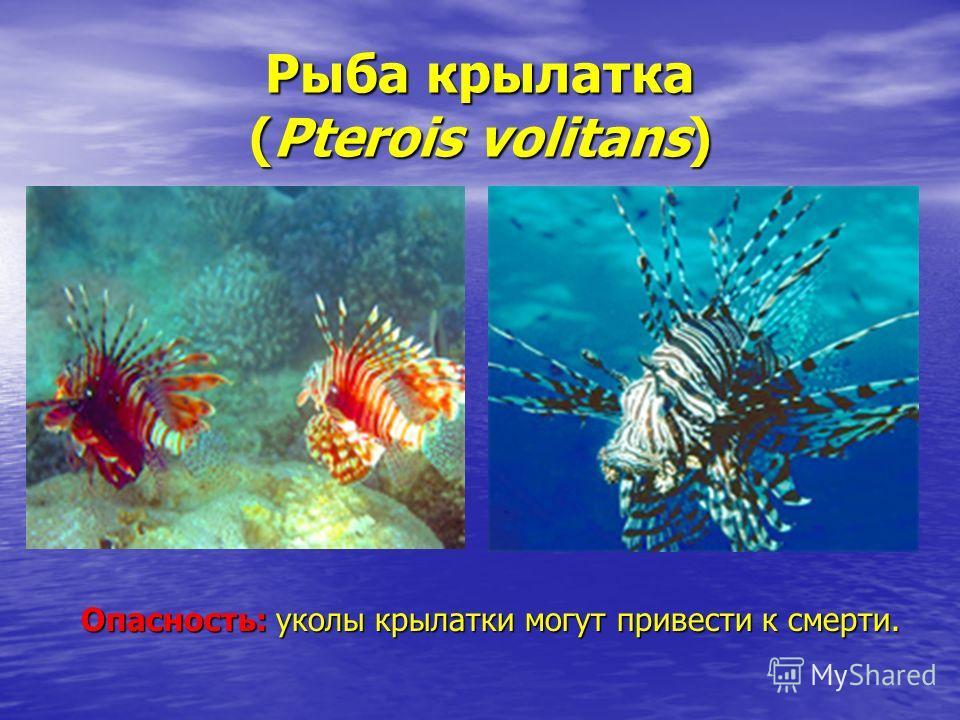 Рыба крылатка (Pterois volitans) Опасность: уколы крылатки могут привести к смерти.
