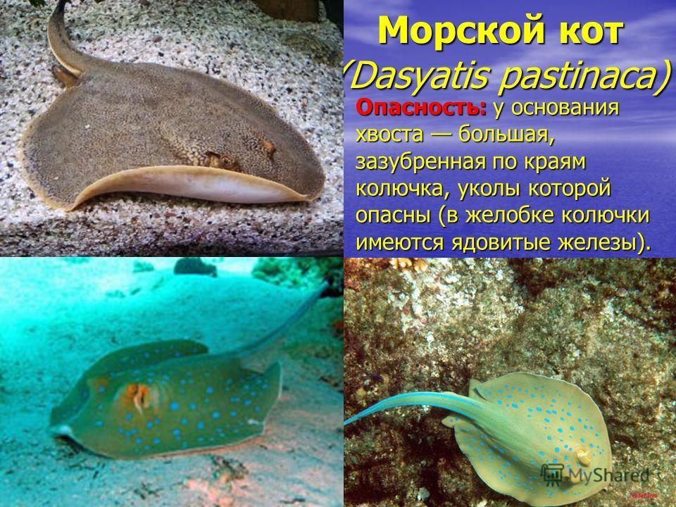 Морской кот (Dasyatis pastinaca) Опасность: у основания хвоста большая, зазубренная по краям колючка, уколы которой опасны (в желобке колючки имеются ядовитые железы).