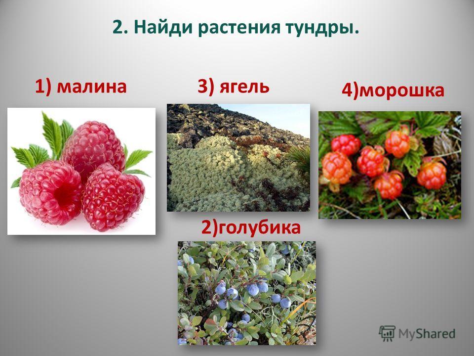 2. Найди растения тундры. 1) малина3) ягель 2)голубика 4)морошка