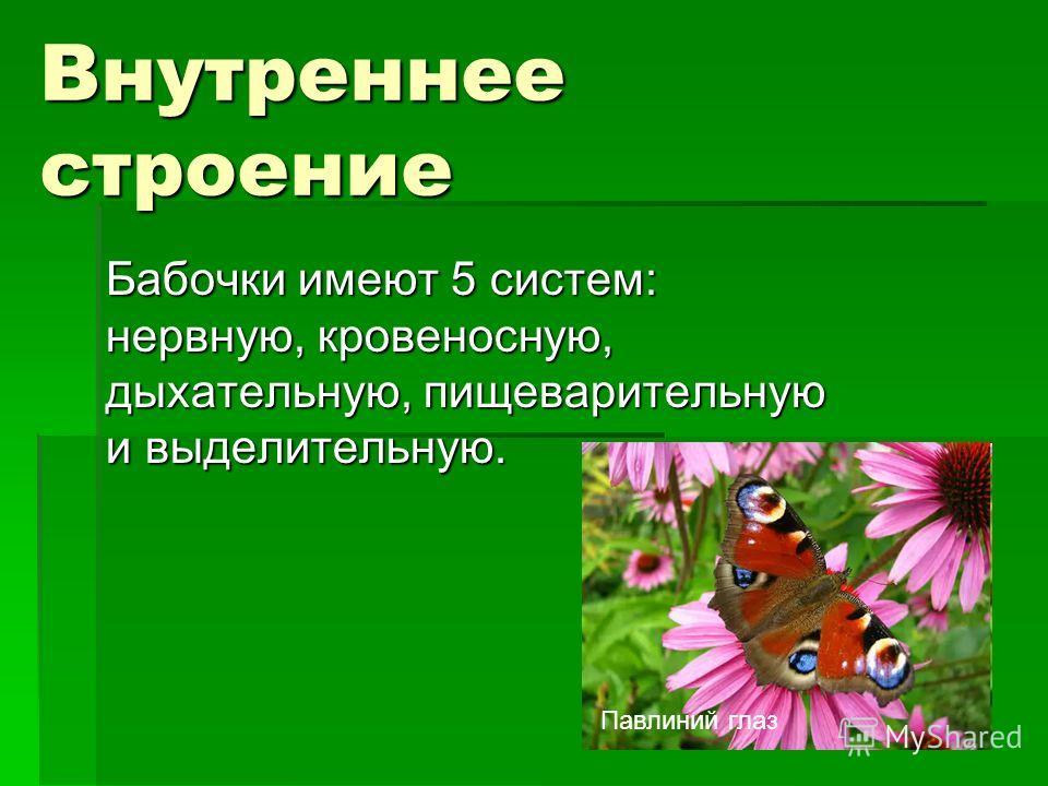 Внутреннее строение Бабочки имеют 5 систем: нервную, кровеносную, дыхательную, пищеварительную и выделительную. Павлиний глаз