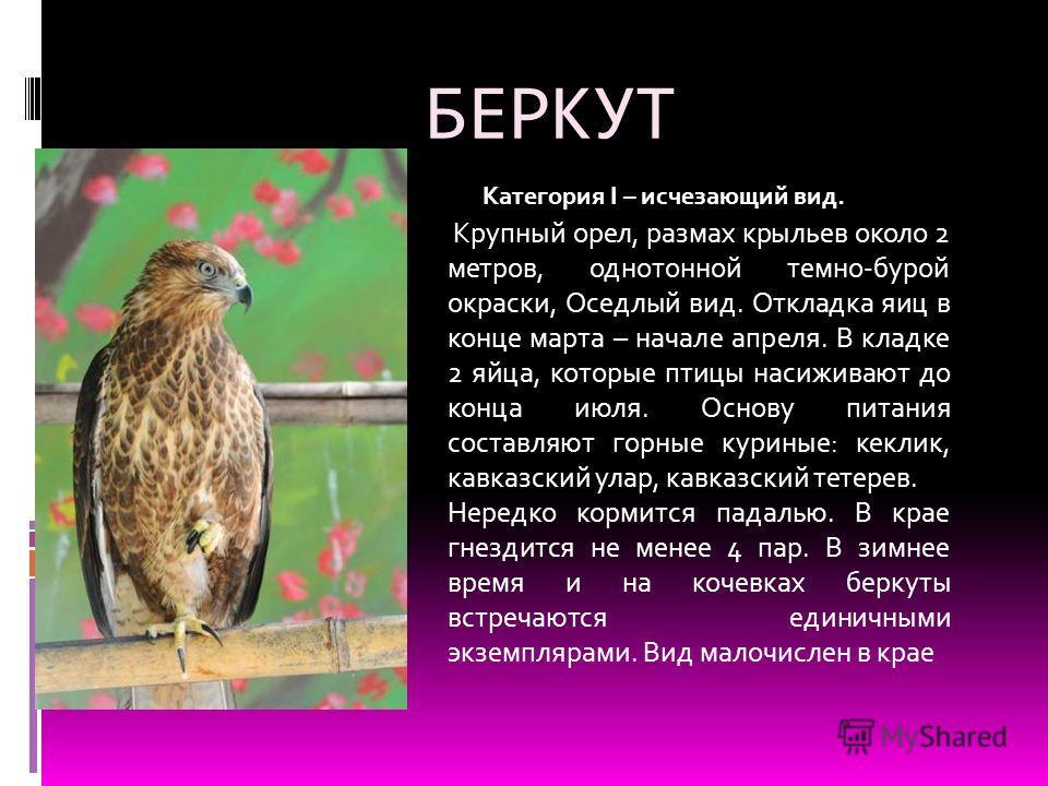 БЕРКУТ Крупный орел, размах крыльев около 2 метров, однотонной темно-бурой окраски, Оседлый вид. Откладка яиц в конце марта – начале апреля. В кладке 2 яйца, которые птицы насиживают до конца июля. Основу питания составляют горные куриные: кеклик, ка