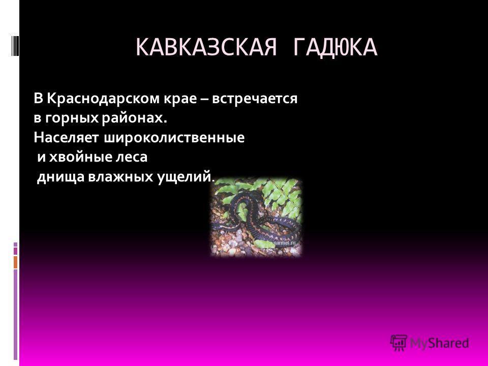 КАВКАЗСКАЯ ГАДЮКА В Краснодарском крае – встречается в горных районах. Населяет широколиственные и хвойные леса днища влажных ущелий.