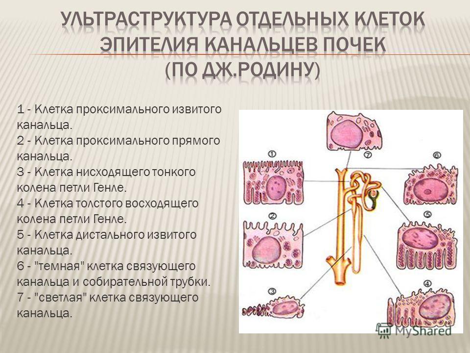 1 - Клетка проксимального извитого канальца. 2 - Клетка проксимального прямого канальца. 3 - Клетка нисходящего тонкого колена петли Генле. 4 - Клетка толстого восходящего колена петли Генле. 5 - Клетка дистального извитого канальца. 6 -