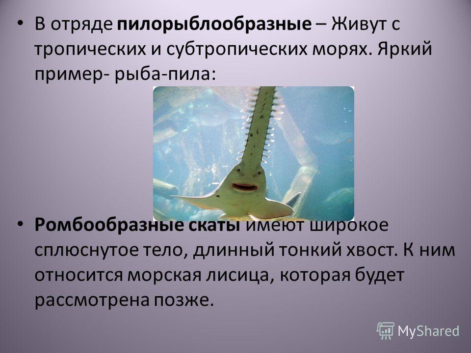В отряде пилорыблообразные – Живут с тропических и субтропических морях. Яркий пример- рыба-пила: Ромбообразные скаты имеют широкое сплюснутое тело, длинный тонкий хвост. К ним относится морская лисица, которая будет рассмотрена позже.