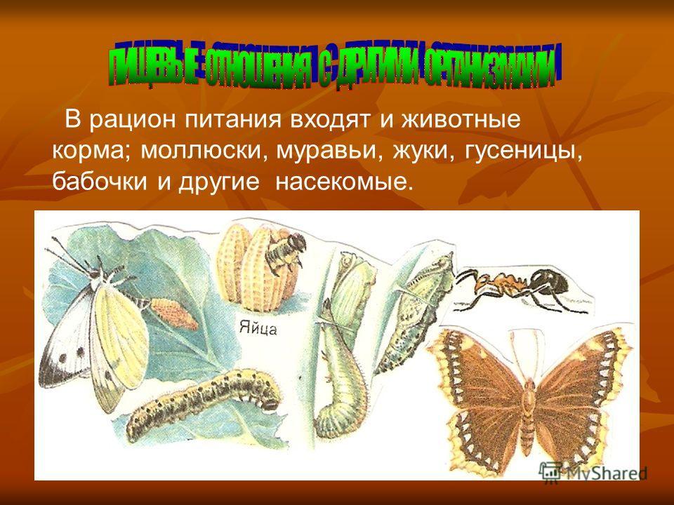 В рацион питания входят и животные корма; моллюски, муравьи, жуки, гусеницы, бабочки и другие насекомые. Одним из важнейших пищевых отношений с организмами является отношение с человеком, но пищей является сам глухарь. Глухариная охота во время тока