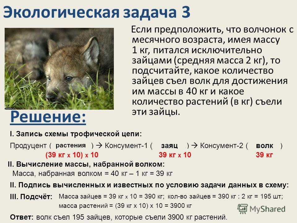 Экологическая задача 3 Если предположить, что волчонок с месячного возраста, имея массу 1 кг, питался исключительно зайцами (средняя масса 2 кг), то подсчитайте, какое количество зайцев съел волк для достижения им массы в 40 кг и какое количество рас