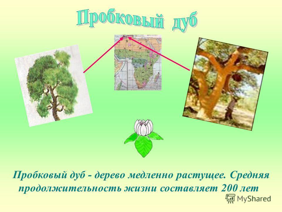 Пробковый дуб - дерево медленно растущее. Средняя продолжительность жизни составляет 200 лет