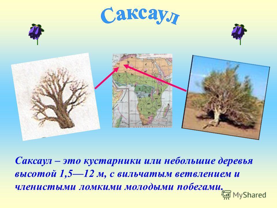 Саксаул – это кустарники или небольшие деревья высотой 1,512 м, с вильчатым ветвлением и членистыми ломкими молодыми побегами.