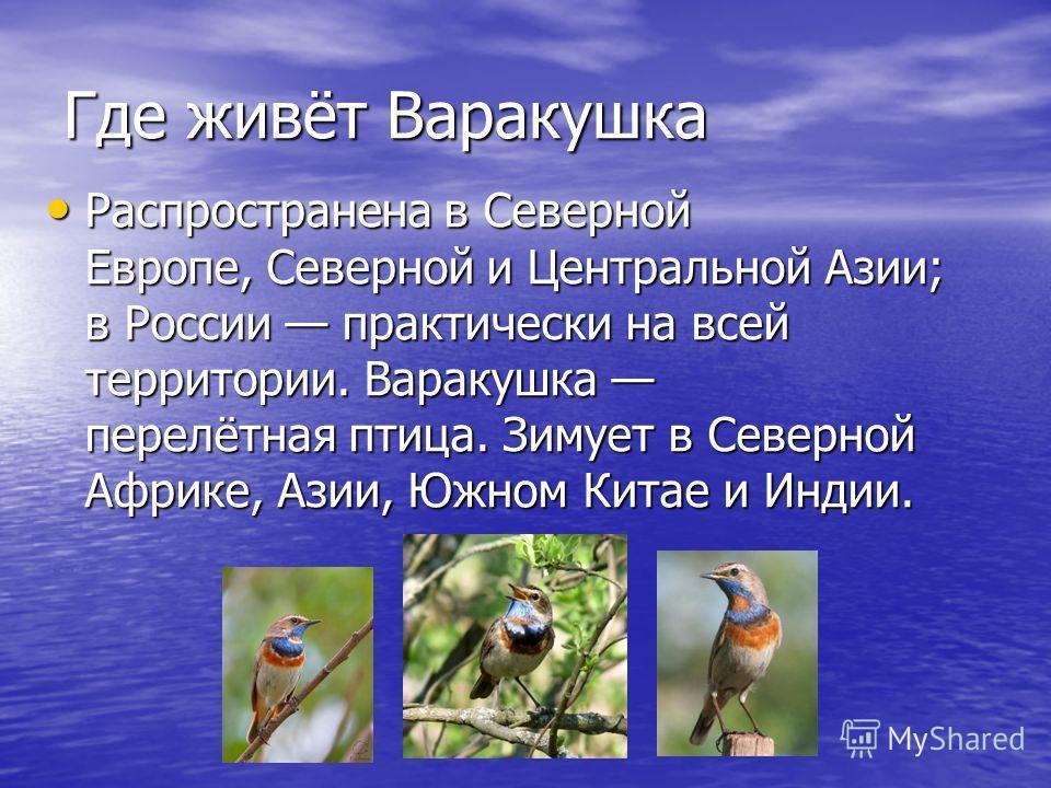 Где живёт Варакушка Распространена в Северной Европе, Северной и Центральной Азии; в России практически на всей территории. Варакушка перелётная птица. Зимует в Северной Африке, Азии, Южном Китае и Индии. Распространена в Северной Европе, Северной и