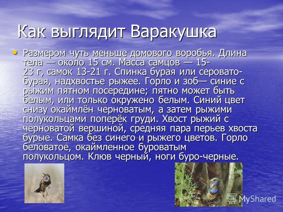 Как выглядит Варакушка Размером чуть меньше домового воробья. Длина тела около 15 см. Масса самцов 15- 23 г, самок 13-21 г. Спинка бурая или серовато- бурая, надхвостье рыжее. Горло и зоб синие с рыжим пятном посередине; пятно может быть белым, или т