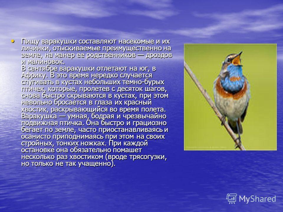Пищу варакушки составляют насекомые и их личинки, отыскиваемые преимущественно на земле, на манер ее родственников дроздов и малиновок. В сентябре варакушки отлетают на юг, в Африку. В это время нередко случается спугивать в кустах небольших темно-бу
