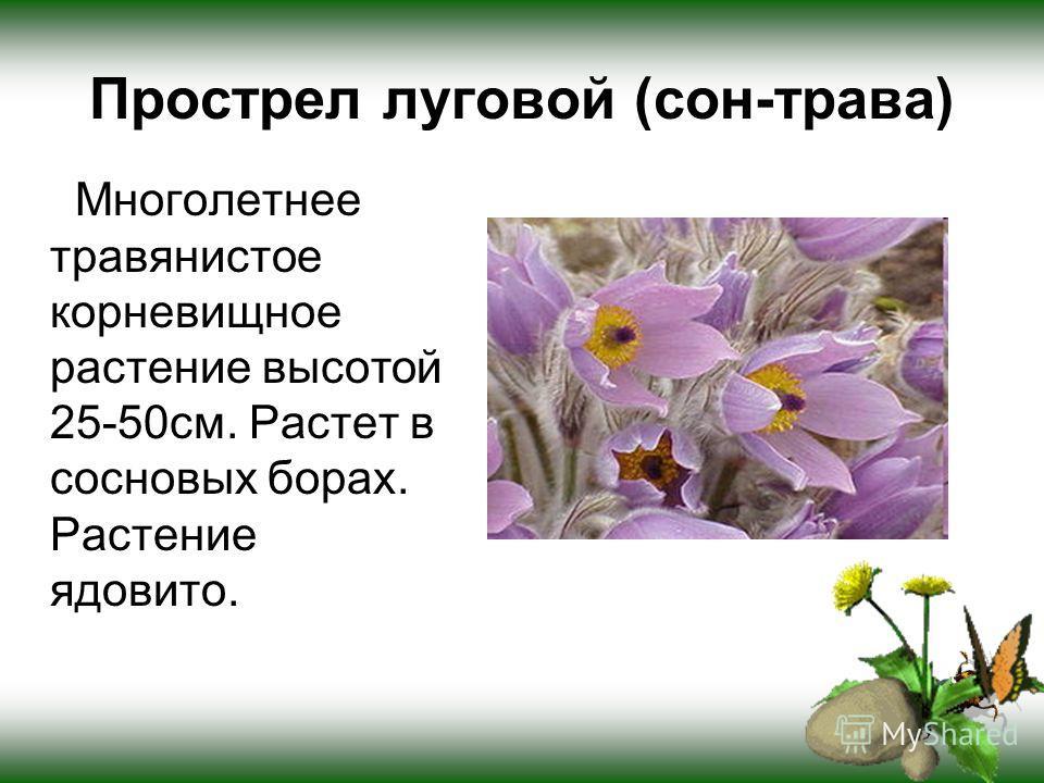 Прострел луговой (сон-трава) Многолетнее травянистое корневищное растение высотой 25-50см. Растет в сосновых борах. Растение ядовито.