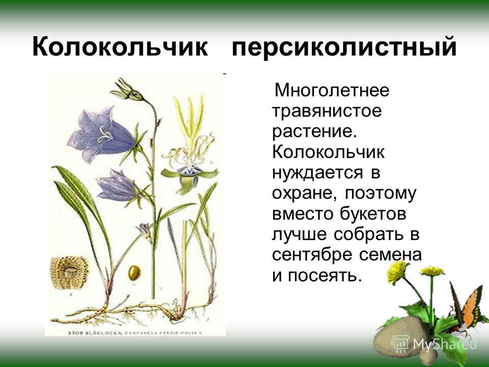 Колокольчик персиколистный Многолетнее травянистое растение. Колокольчик нуждается в охране, поэтому вместо букетов лучше собрать в сентябре семена и посеять.