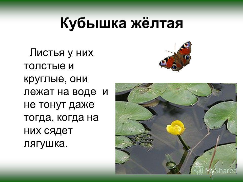 Кубышка жёлтая Листья у них толстые и круглые, они лежат на воде и не тонут даже тогда, когда на них сядет лягушка.