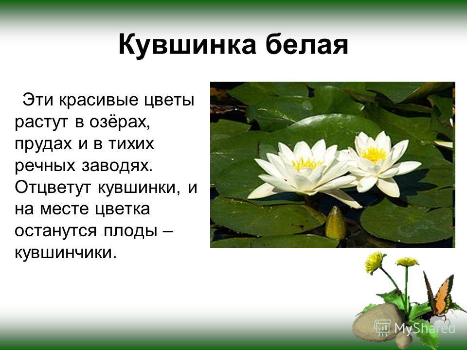 Кувшинка белая Эти красивые цветы растут в озёрах, прудах и в тихих речных заводях. Отцветут кувшинки, и на месте цветка останутся плоды – кувшинчики.