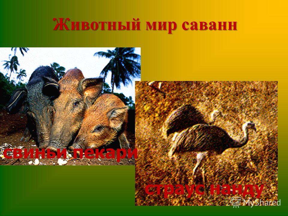 Животный мир саванн свиньи пекари страус нанду
