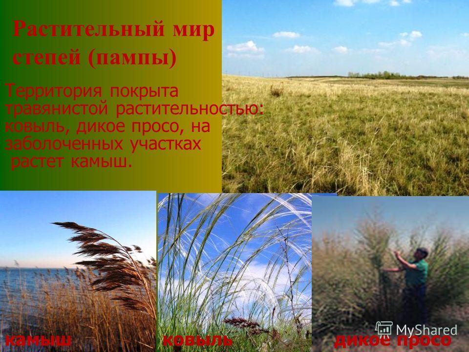 Территория покрыта травянистой растительностью: ковыль, дикое просо, на заболоченных участках растет камыш. камышковыльдикое просо Растительный мир степей (пампы)