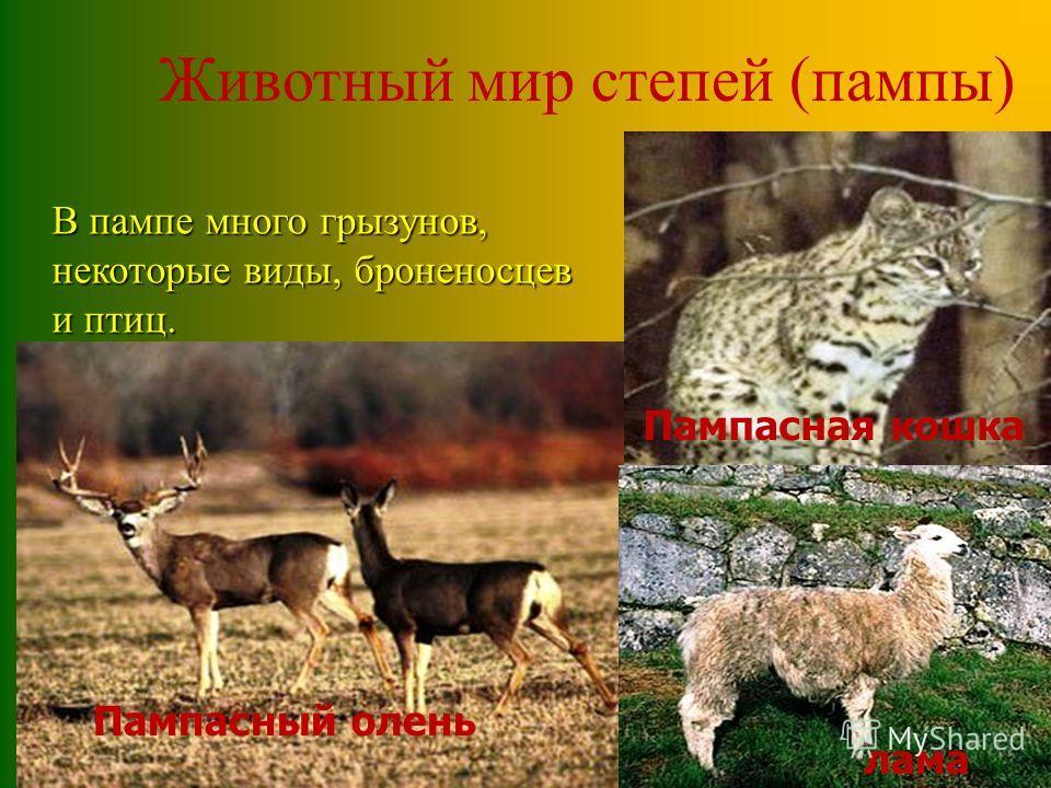 Пампасная кошка Животный мир степей (пампы) Пампасный олень Пампасная кошка В пампе много грызунов, некоторые виды, броненосцев и птиц. лама