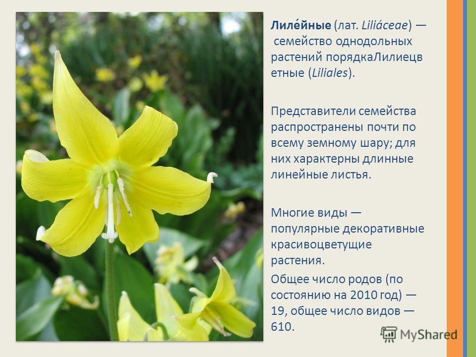 Лиле́йные (лат. Liliáceae) семейство однодольных растений порядкаЛилиецв етные (Liliales). Представители семейства распространены почти по всему земному шару; для них характерны длинные линейные листья. Многие виды популярные декоративные красивоцвет
