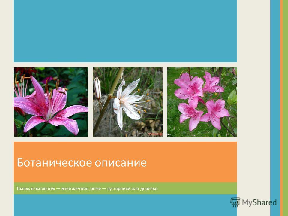 Ботаническое описание Травы, в основном многолетние, реже кустарники или деревья.
