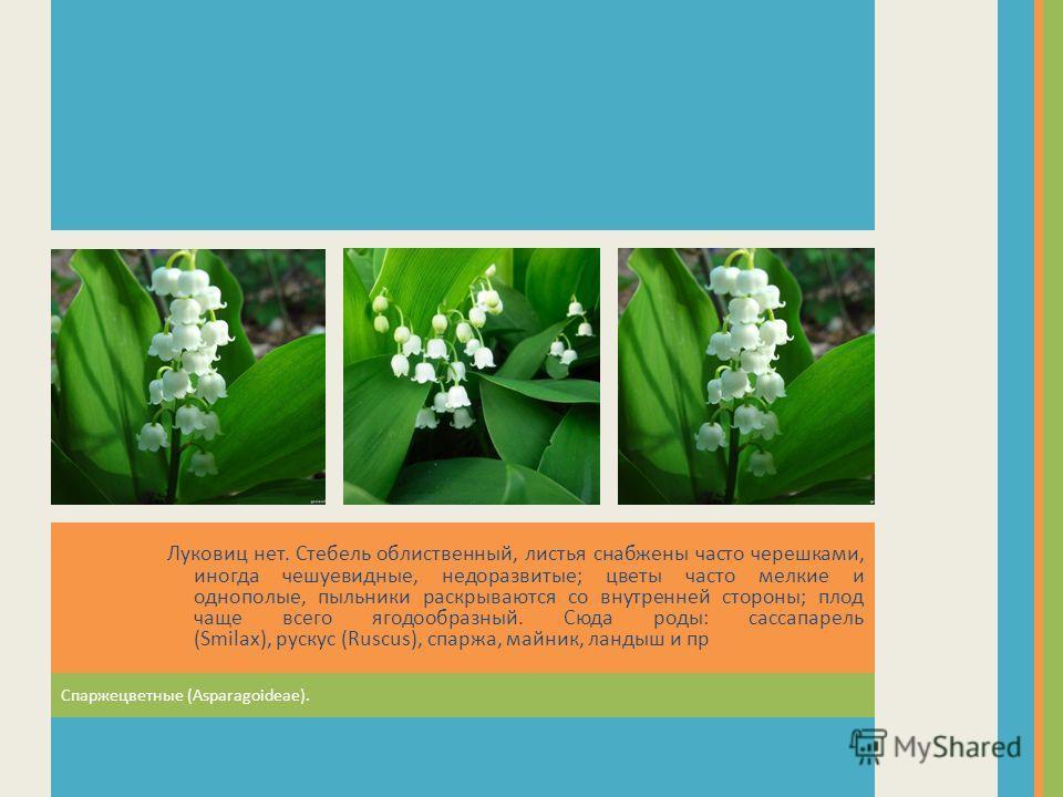 Спаржецветные (Asparagoideae). Луковиц нет. Стебель облиственный, листья снабжены часто черешками, иногда чешуевидные, недоразвитые; цветы часто мелкие и однополые, пыльники раскрываются со внутренней стороны; плод чаще всего ягодообразный. Сюда роды