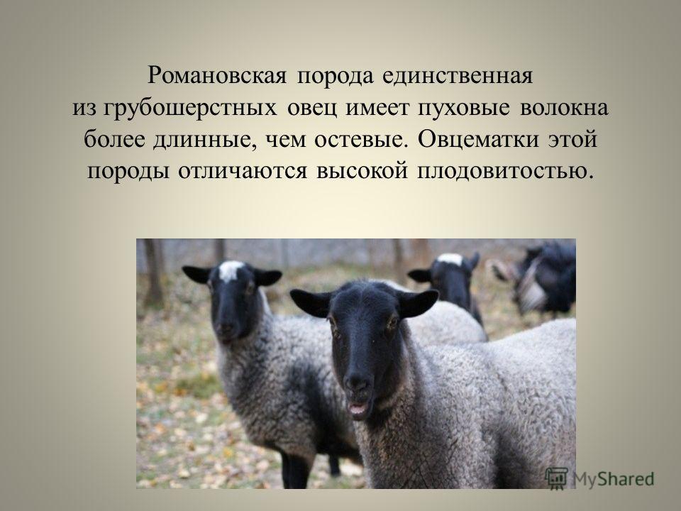 Романовская порода единственная из грубошерстных овец имеет пуховые волокна более длинные, чем остевые. Овцематки этой породы отличаются высокой плодовитостью.